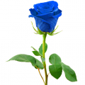 send blue roses to cebu philippines, online delivery blue roses to cebu