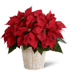 ​Red Poinsettia Planter Send to Cebu City